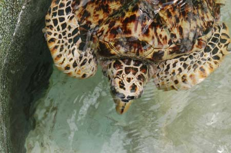 Turtle at the Turtle Sanctuary, Bequia, SVG